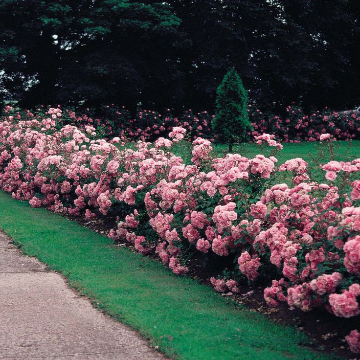 BONICA Rose HEDGE - before there were the easy care roses everyone now grows there was Bonica.  For my money it's a a just as easy and far more beautiful easy care choice. A full lush little shrub, covered with blooms from spring to fall,