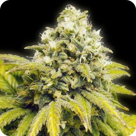 Original Afghan - strain - Bulldog Seeds | Cannapedia