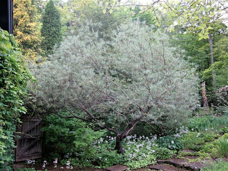 salix rosmarinifolia