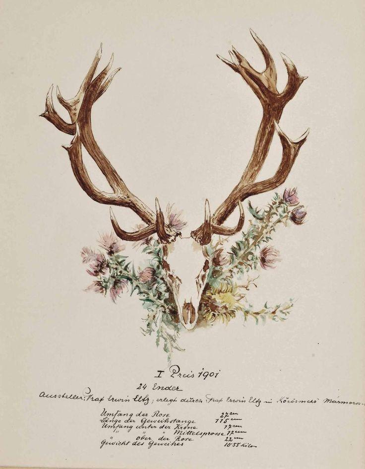 cocoroachchanel:    Darstellung eines Hirschgeweihs (Jagdtrophäe), erlegt auf gräflichen Jagden in Ungarn,1901, Sándor Szapáry de Szapár
