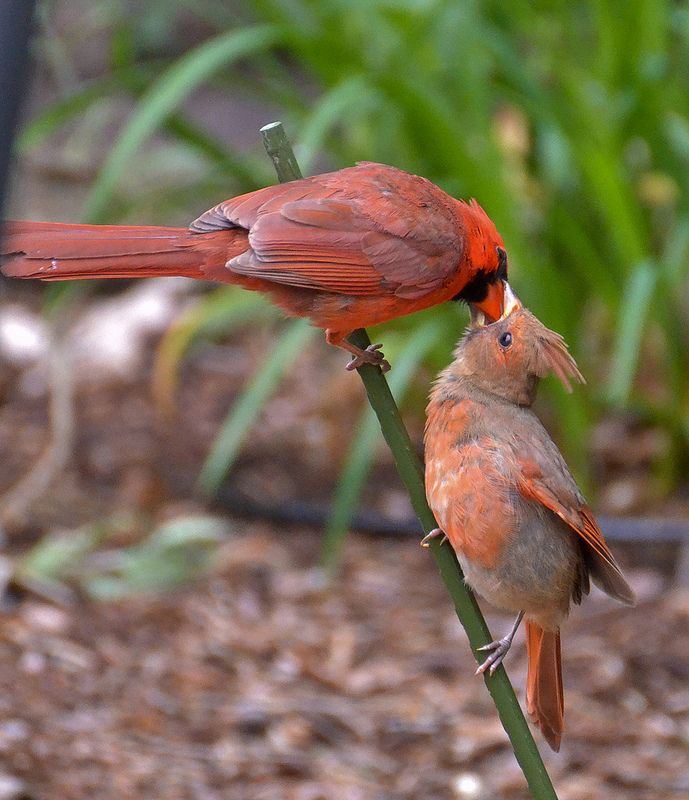 Mr. and baby cardinal  by altano