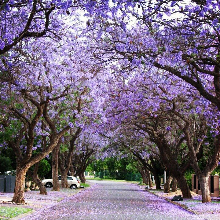 Road flanked by Jacarandas in Robertson, South Africa