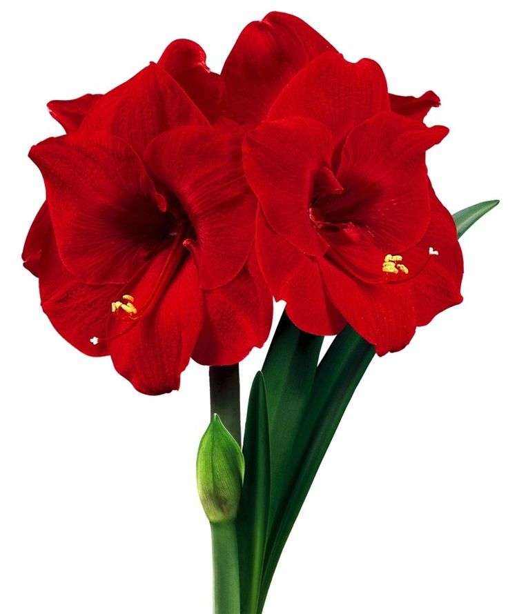 213 best amaryllis images on pinterest flower power for Amaryllis planter bulbe
