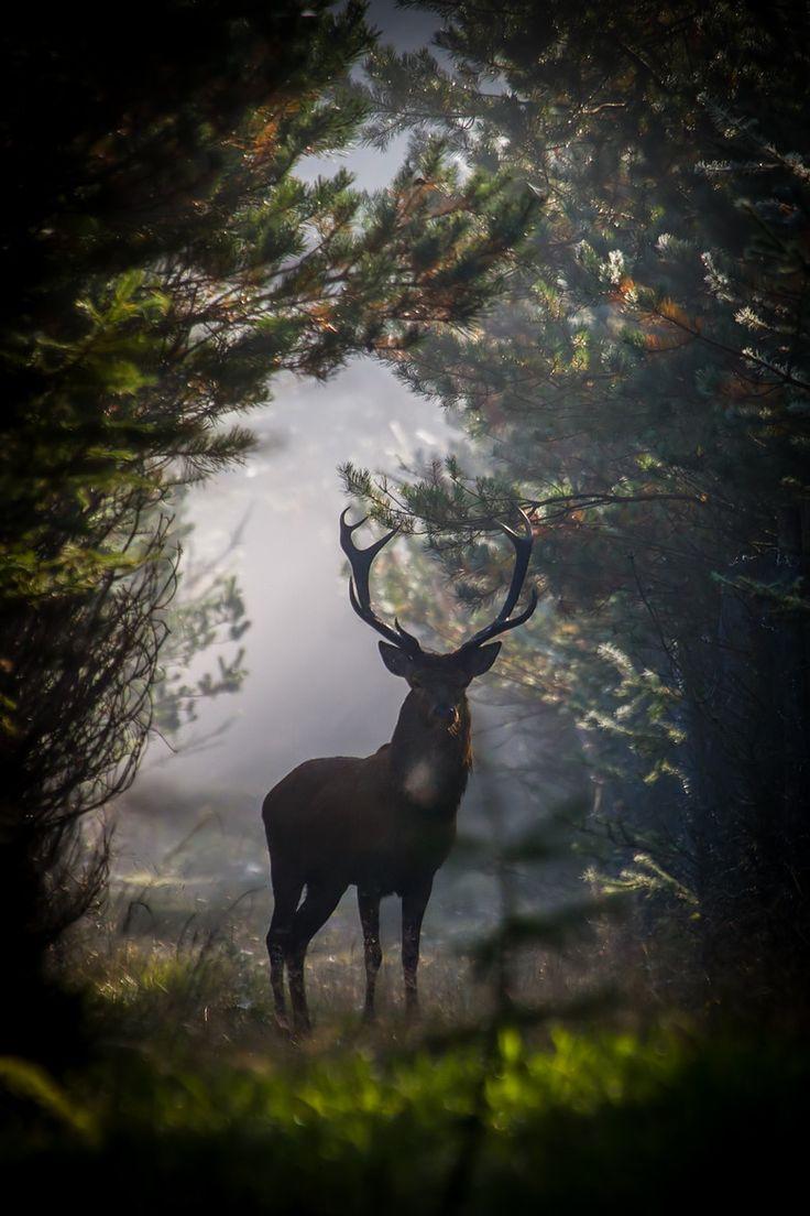 Red Deer Stag by Dan Ravnborg