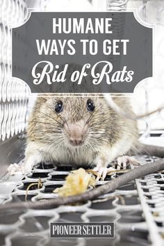 Check Out How to Get Rid of Mice In Your House Humanely (Works For Rats Too!) at http://pioneersettler.com/get-rid-mice-house-humanely/