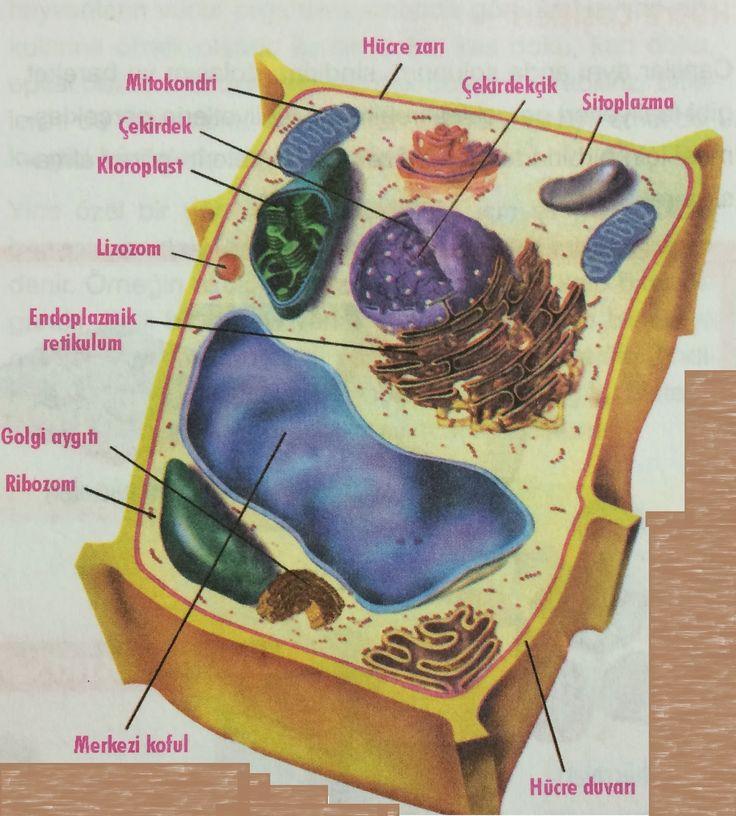 Bitki+Hücresi.JPG (1443×1600)
