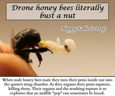 Drone bees give their all to mate with the queen. Passing genetic material to the future.