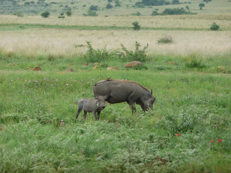 Warthog & Baby, Pilanesberg National Park, South Africa