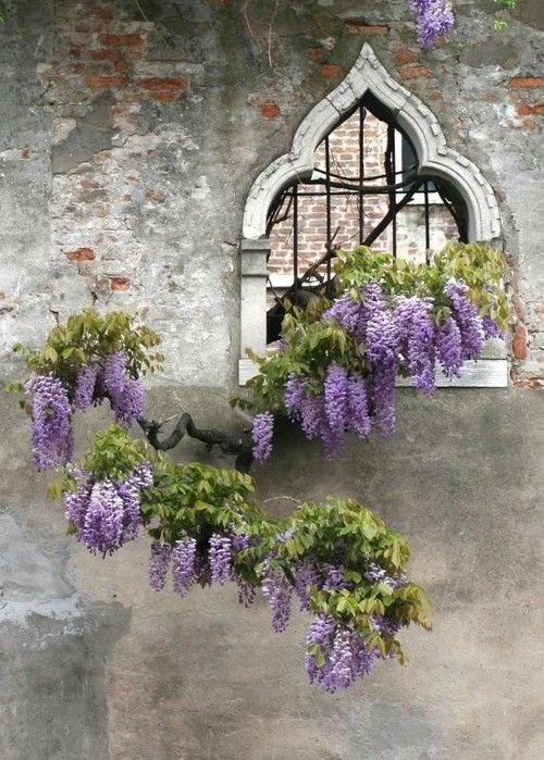 Isn't this a lovely Wisteria against an old wall.