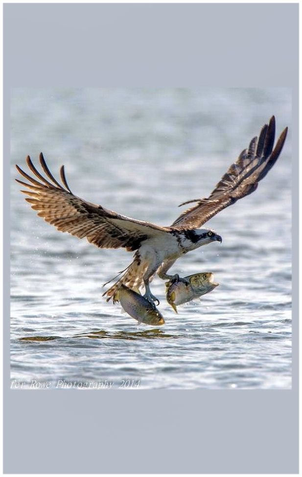 10 best osprey fish hawk images on pinterest birds of for Fish hawk bird
