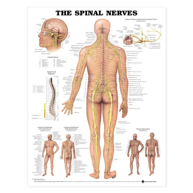 The Spinal Nerves Anatomical Chart - Styrene Plastic - 9781587796913