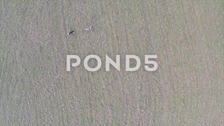 2.7K Aerial Birds Eye View Dogs Walking Across Field Drone - Stock Footage | by RyanJonesFilms