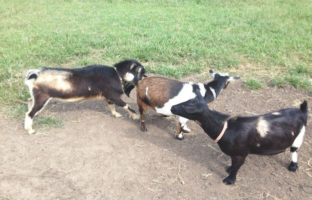How to know if it's goat breeding time, here's the best ideas to know!