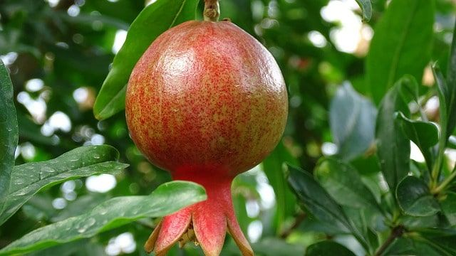 Czy znasz właściwości i zastosowanie soku z owocu granatu? Zapraszamy do nowego wpisu na ten temat. https://oliwka24.pl/sok-granatu-dawkowanie-wlasciwosci-lecznicze/