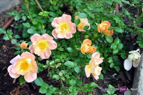10 Easiest Flowers to grow in OklahomaGardens Ideas, Dirt Rambling, Oso Easy, Easiest Flower, Flower Gardens, Oklahoma Flower, Growing Oklahoma, Easy Peachy, Easy Rose