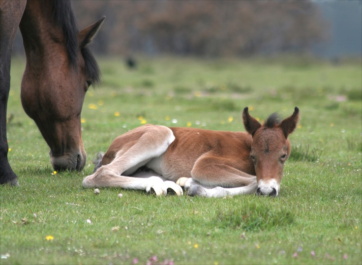 New Forest mare and foal.