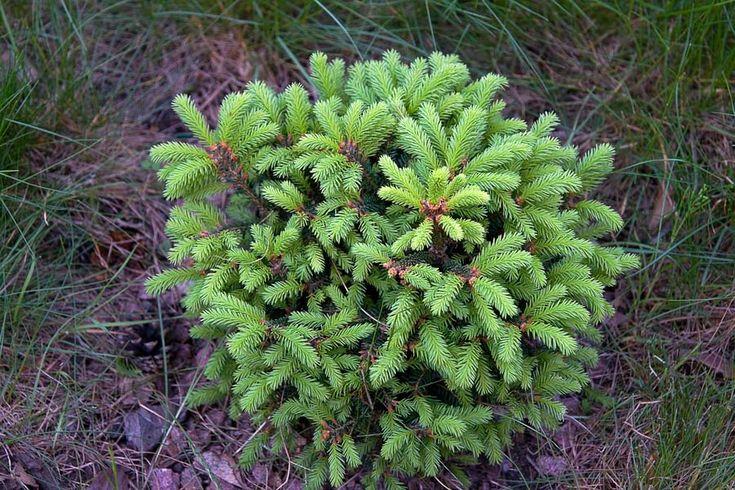 Фото ИринаМ Ель обыкновенная Ohlendorffii Высота 6 - 8 м, диаметр 2,5 - 4 м Зона4 (-34 / -29 °C) Picea abies Ohlendorffii Карликовая форма, в молодом возрасте крона округлая, к старости - широко коническая с несколькими вершинами. Побеги приподнимающиеся и раскидистые. неравномерно развитые, плотно расположены в кроне. Годовой прирост 2-6 см. Почки темные, оранжево-коричневые, находятся группами на концах побегов. Хвоя золотисто-желтовато-зеленая, короткая, колючая. Внешне напоминает хвою…