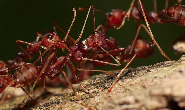 fire ant  Fourmis solenopsis Source : notre-planete.info, http://www.notre-planete.info/actualites/3902-douleur-piqure-guepe-fourmi-abeille