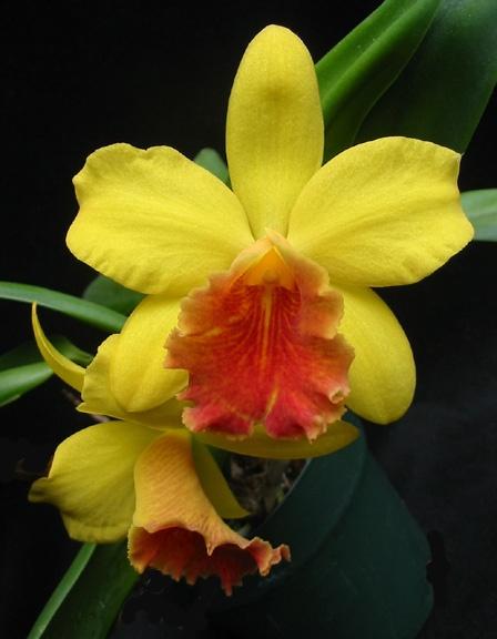 Potinara Beaufort Gold