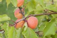 Fruits et verger - Tailler en douceur l'abricotier de plein vent