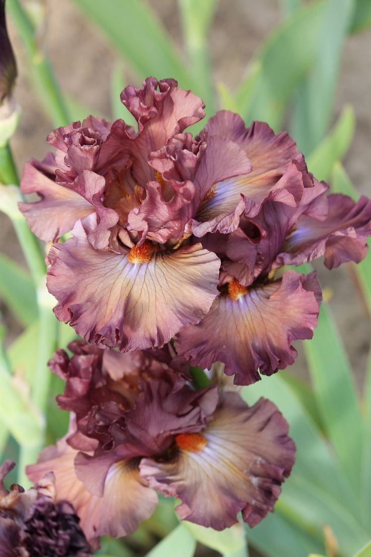 TB Iris 'Thundery' (Barry Blyth, 2007)                                                                                                                                                                                 More