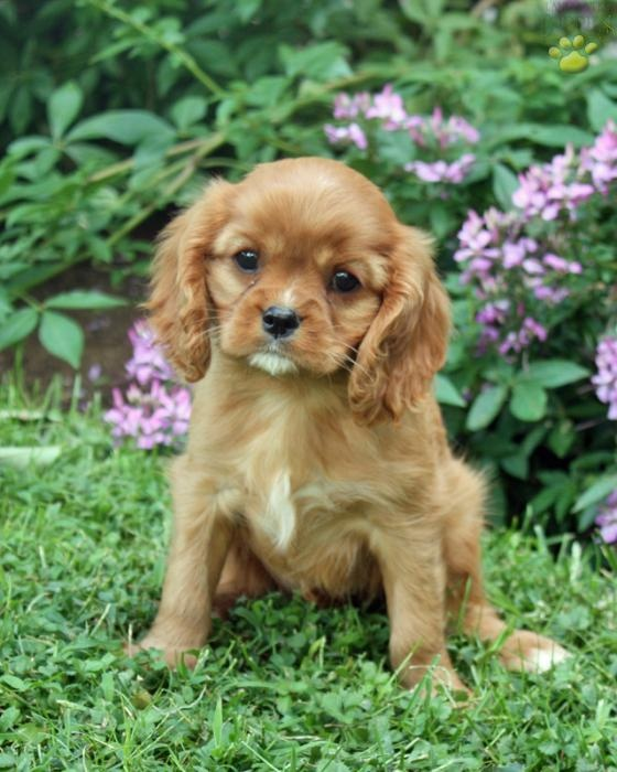 Ruby Cavalier King Charles Spaniel.  Looks like our Molly. Best dogs ever!