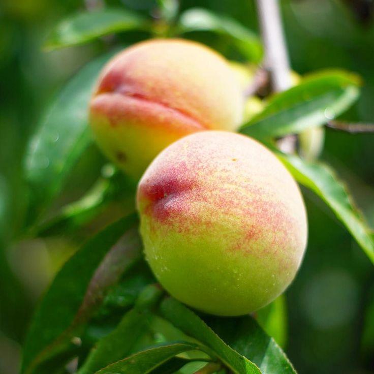 . これからの季節和歌山県では 桃の収穫が始まります 和歌山県には桃山町と言って 桃の生産が盛んな地域があるんですよ 桃のジェラート桃のソフトクリーム桃のコンポート 幸せな季節の到来です . #mat_and_rugfactory #マットラグ #くらしにプラス #桃 #モモ #和歌山県 #insta_wakayama #nagomi_wakayama