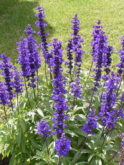 Salvia Blue Ribbon - 9cm pot