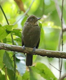 Schiffornis turdina - Brown-winged schiffornis.JPGEl llorón turdino2 (Schiffornis turdina), también denominado saltarín mirlo (en Colombia), shifornis de ala parda (en Perú) o flautim-marrom (en portugués, en Brasil),3 es una especie de ave paseriforme perteneciente al género Schiffornis integrado en la familia Tityridae. Es nativo de América del Sur.