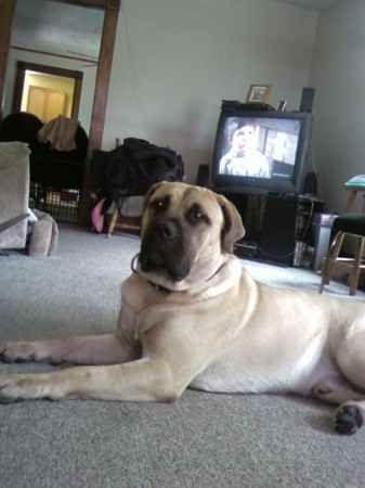 Masta Dog Breed