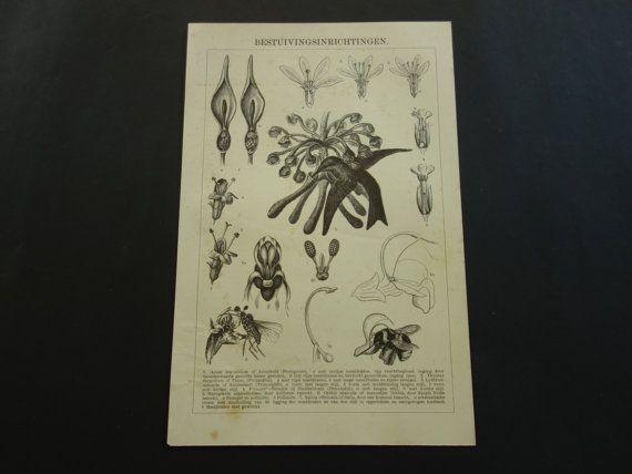 old BOTANICAL print 1906 antique Dutch illustration