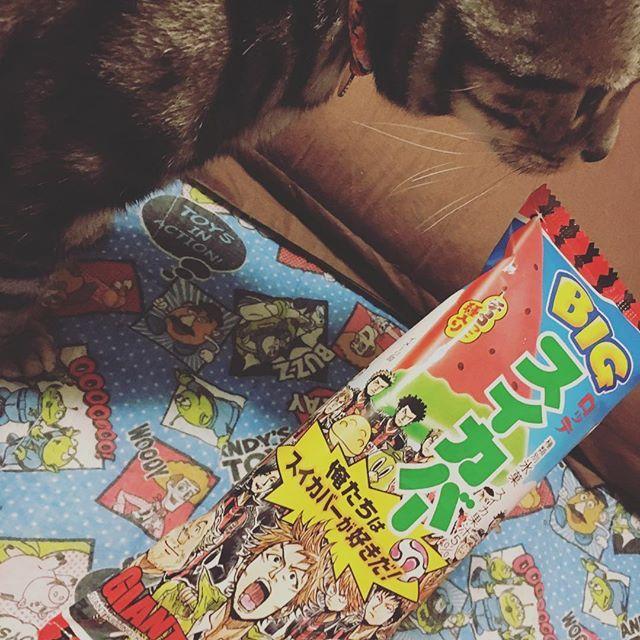 #スイカバー #ジャイアントキリング #vivi #ビビりのビビ #アメショー #アメショ #アメリカンショートヘア #American Shorthair #AmericanShorthair #愛猫 #猫 #ネコ #ねこ #猫写真 #ねこすたぐらむ #ねこ部 #cat