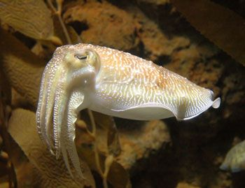 Fascinating cuttlefish! A great article honoring the Creator by Creation Ministries International.