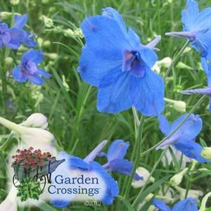 Delphinium grandiflorum 'Summer Nights' (Larkspur)One of the best Blue flowers out there. --->Delphinium
