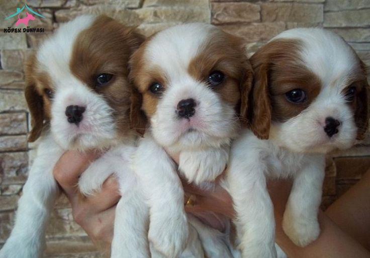 https://www.kopekdunyasi.com/ilan/aile-kopegi-cavalier-kings-charles-mama-pet-malzeme-kampanya  Yavru tatlıların internettteki yuvası Kopekdunyasi.com 'u ziyaret etmeyi ihmal etmeyin :)