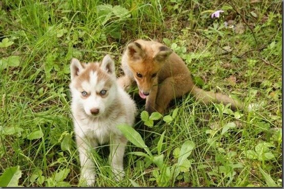 Fox and Husky