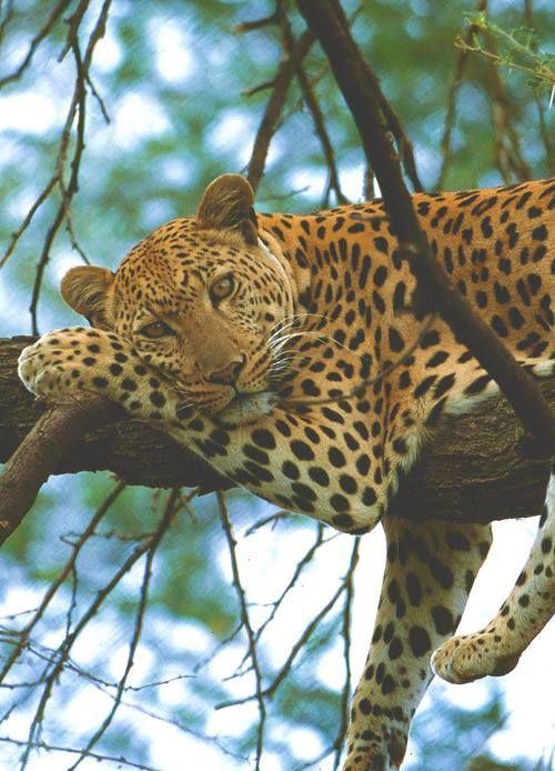 Jaguar....feeling bored