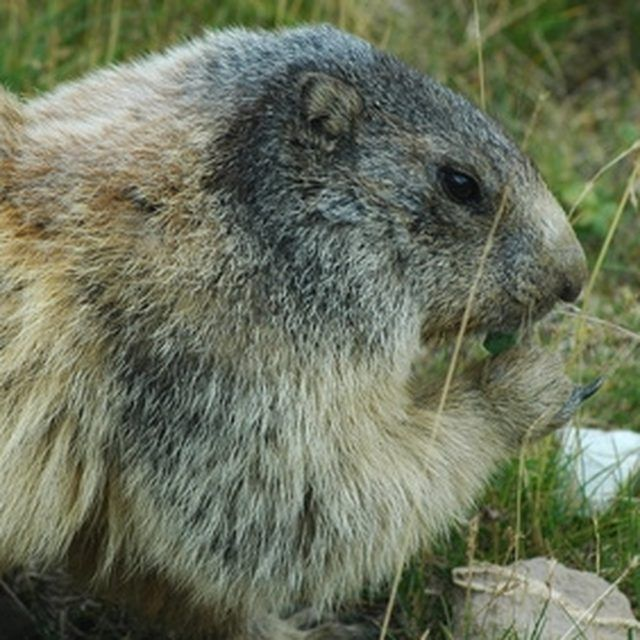 How To Use Glycerin To Get Rid Of Groundhogs Ruins And Yards