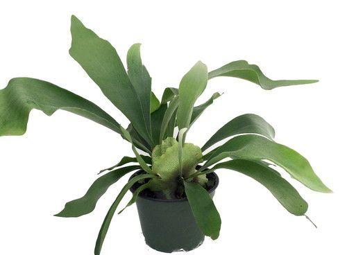 "Staghorn Fern - Platycerium biforcatum - Exotic Houseplant - 6"""" Pot"