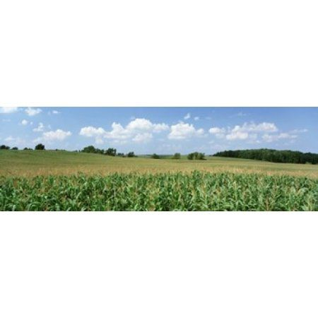 Corn Crop In A Field Wyoming County New York State USA Canvas Art - Panoramic Images (36 x 12)