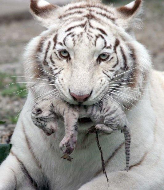 Rhythm !Big Cat, White Tigers, Newbaby, Mothers, Zoos, New Baby, Tigers Cubs, Baby Tigers, Animal