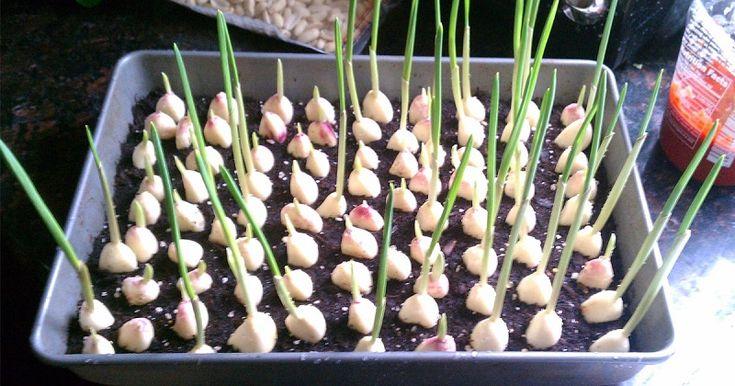Pěstování česneku na parapetu.