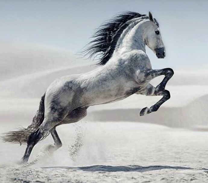 Pura Raza Española. Beautiful running and rearing horse with striking grey and black colors. Gorgeous black mane flowing in the wind in this white dessert sand dunes. #beautifulhorse