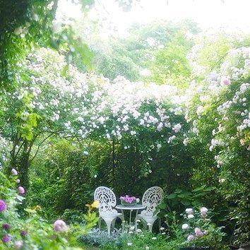 .  薔薇は朝が一番香り高く美しいです  早朝の庭にて  .  .#mygarden    #マンションの庭 #ラレーヌヴィクトリア #アルベリックバルビエ #シャルルドミル   #ホーラ #オールドローズ  #薔薇の庭 #薔薇のある暮らし #ロサオリエンティス #花のある暮らし #バラが好き #バラのある暮らし #花好きな人と繋がりたい #写真撮ってる人と繋がりたい #写真好きな人と繋がりたい #instaflowers #myrosegarden #rosestagram  #roseofinstagram #instabloom #rosegarden #floweroftheday  #flowerlovers  #flowerpower #rosesonly  #baraiegram #oldrose  #mygardenflowers #roseofinstagram