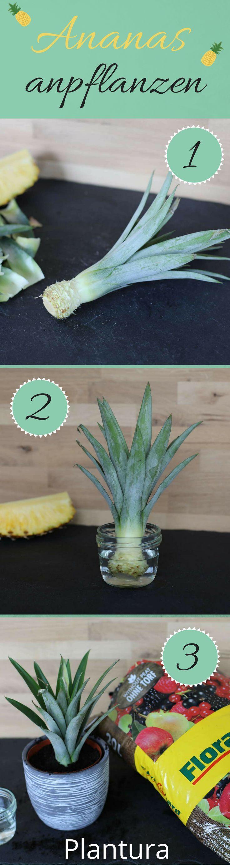 Ananas zuhause aus einem Strunk anpflanzen - so geht es ganz leicht! Eine Anleitung / DIY findet Ihr auf Plantura!