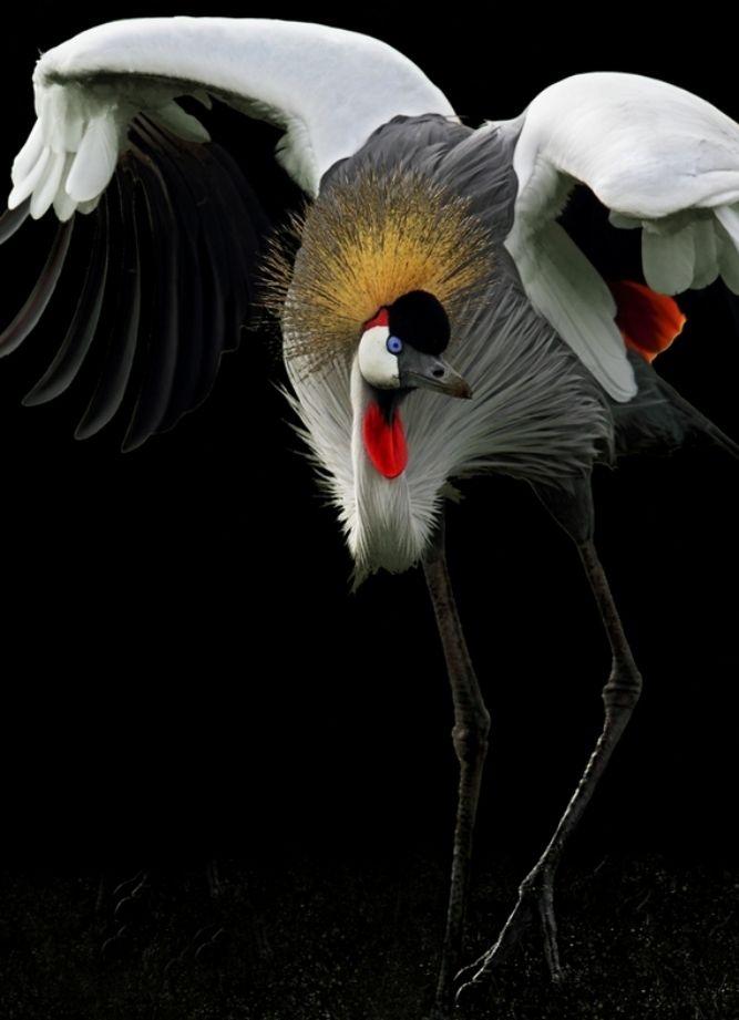 Grey Crowned Crane by Giorgio Conti: Wildlife Photography, Beautiful, Grey Crowns Cranes, Cranes Balearica, Giorgio Conti, Birds, Natural, Balearica Regulorum, Animal