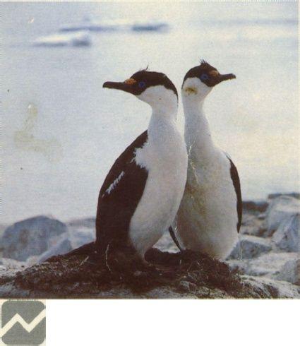 Guía de Campo de las Aves de Chile - B. Araya, G. Millie (Editorial Universitaria, 1992), completo Online, y para descarga. Corresponde al mi primer libro de Observacion de Aves,y elque me acompaño durnate los primeros años de este hobby.