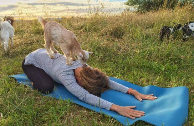 Yoga with goats is the future of all yoga