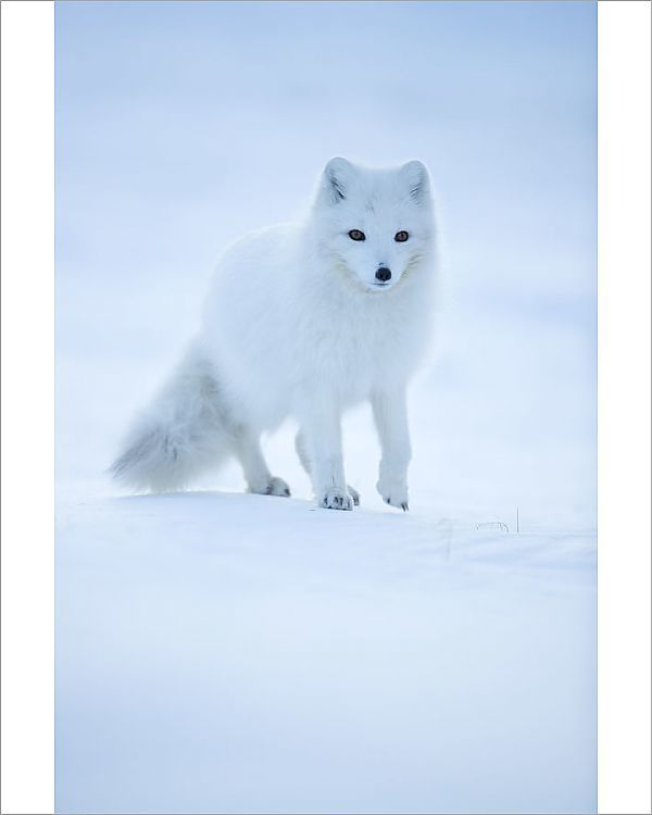Print Of Arctic Fox Vulpes Lagopus Portrait In Winter Coat Svalbard Norway April Arctic Fox Artic Animals Arctic Animals