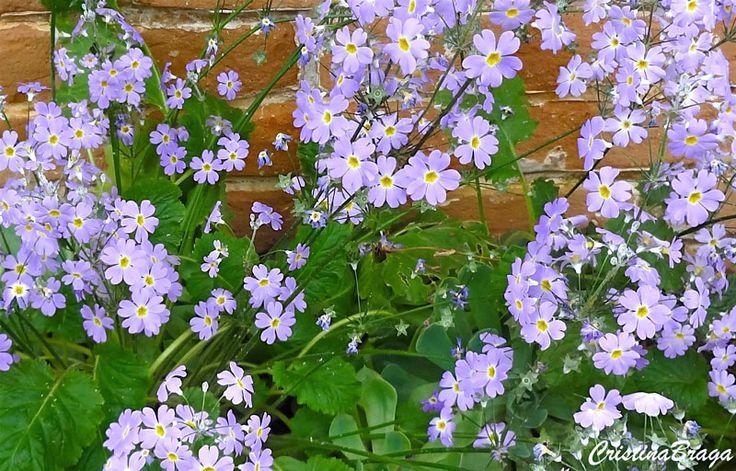 Mini prímulas – Primula malacoides - Herbácea com flores Flores pequenas com 1,5 cm, em hastes peludas ...